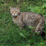 Nationalpark Hunsrück-Hochwald ist HotSpot für bedrohte Wildkatze