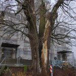 Die Linde vor der Marpinger Pfarrkirche Maria Himmelfahrt muss gefällt werden