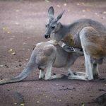 Wilde Kängurus hüpfen durch das St. Wendeler Land