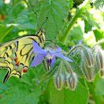 Tholey: Herbert Schug stellt im Schaumbergturm aus – bunte Vielfalt der Schmetterlinge