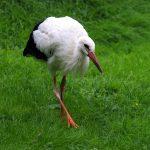 BAB 62, Anschlussstelle Freisen: Verletzter Storch gefunden