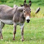 Freilaufende Esel im Ortsbereich von Oberkirchen