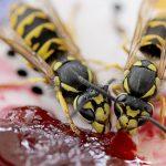 Aufdringliche Insekten im Spätsommer: So halten Sie Wespen fern
