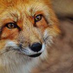 Marpingen: Fuchs in Totfangfalle gefunden
